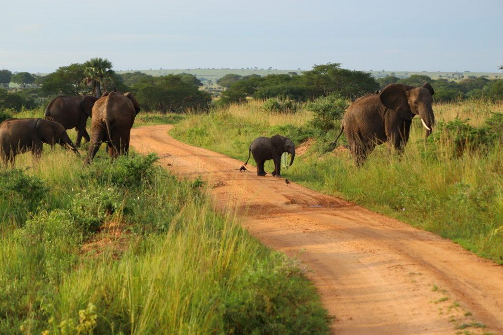 Elephants crossing the road in Uganda