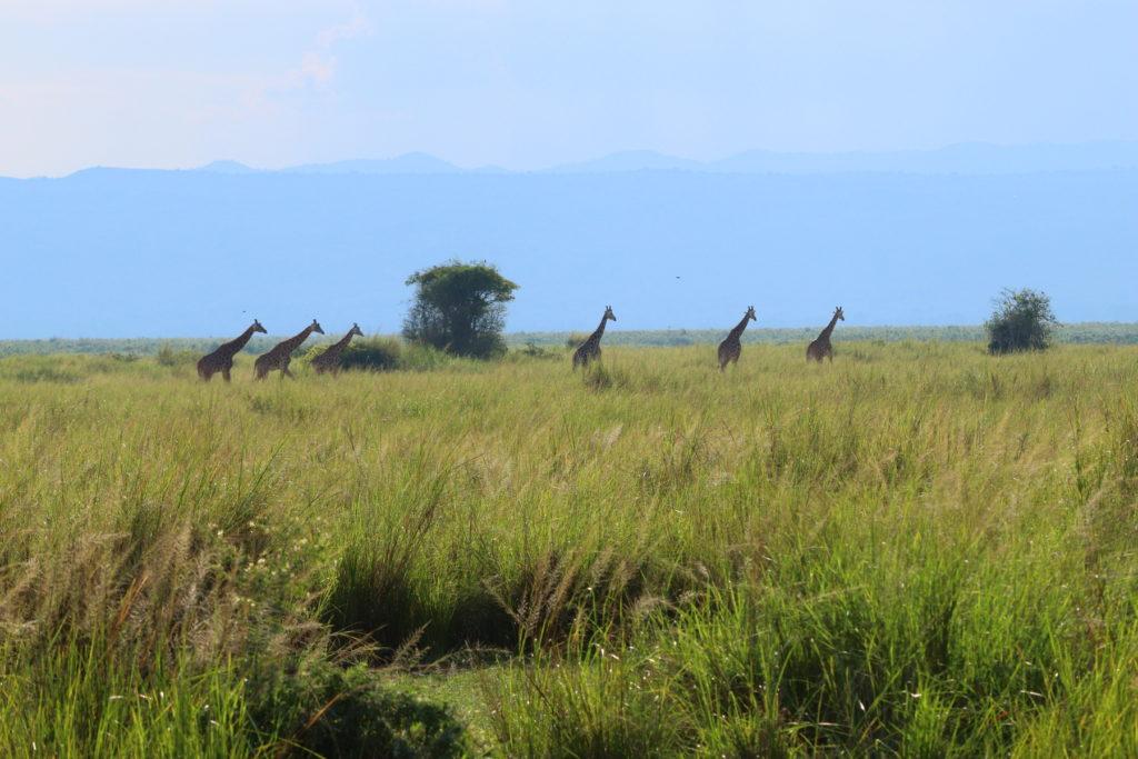 Giraffes on the savannah